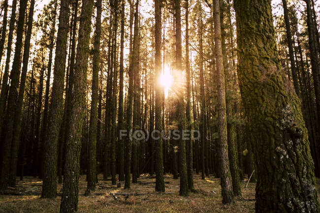 Spain, Tenerife, Trees in forest at sunset — Stock Photo