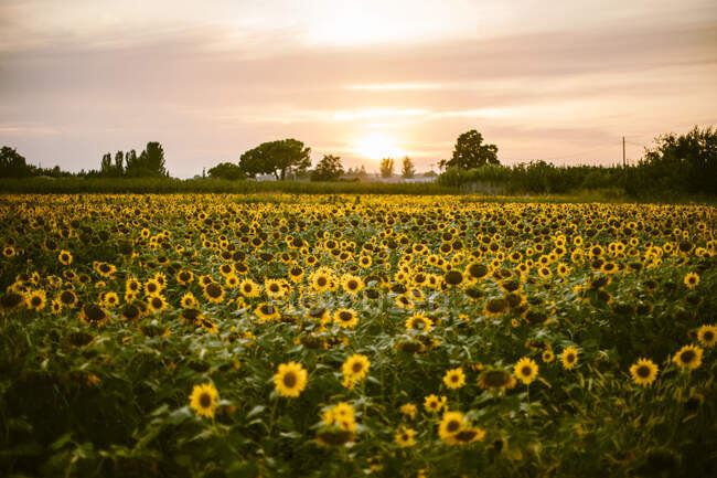 Sunflower field at summer sunset — Stock Photo
