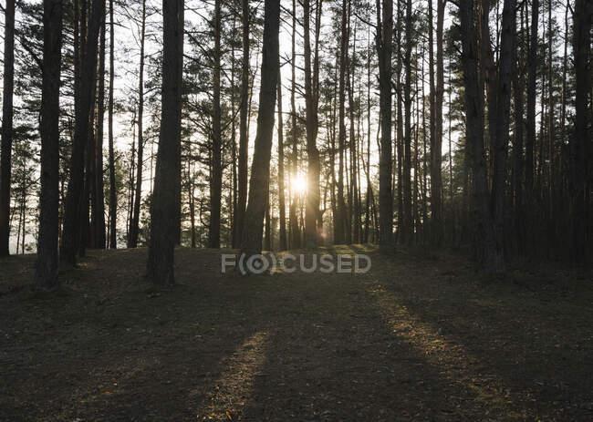 Lituania, Kernave, Sole che tramonta tra rami di alberi forestali — Foto stock