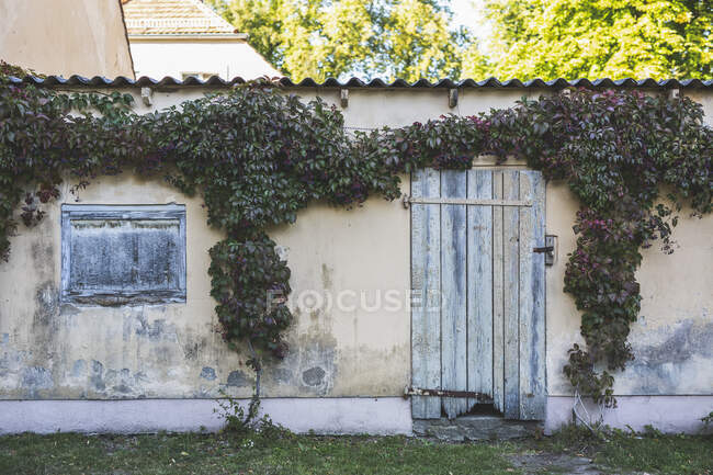Germany, Brandenburg, Potsdam, Ivy overgrowing old wall — Stock Photo