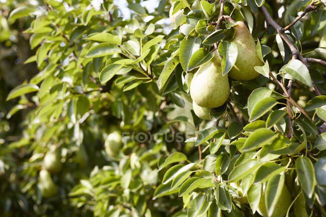 Груши Уильямса на дереве — стоковое фото