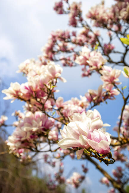 Germany, Hessen, Close-up of pink magnolia flowers — Stock Photo
