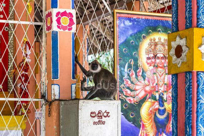 Sri Lanka, Southern Province, Kataragama, Monkey in temple — Stock Photo