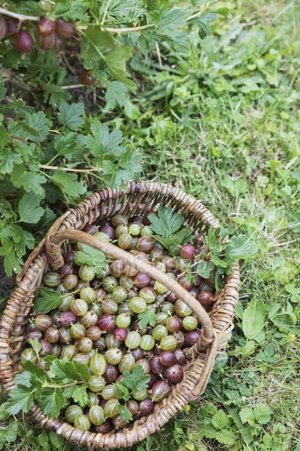 Wicker basket full of freshly harvested gooseberries — Stock Photo