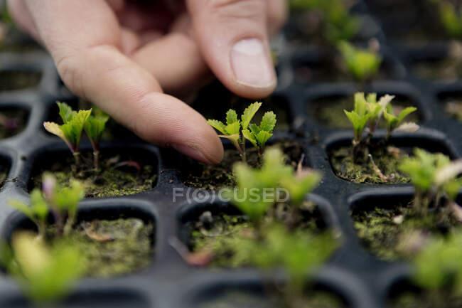 Jardinero en granero, la comprobación de las plántulas de espinacas es macetas de vivero - foto de stock