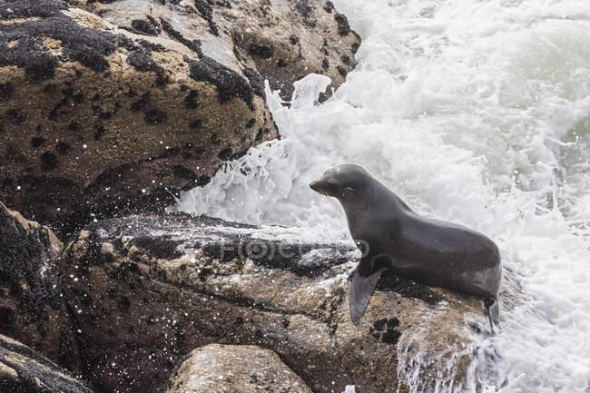 Nuova Zelanda, isola del sud, costa occidentale, Capo Foulwind, baia di Tauranga, leone marino neozelandese (Phocarctos hookeri) su rocce — Foto stock