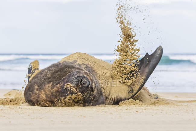Neuseeland, Ozeanien, Südinsel, Otago, Südosten, Catlins Coast, Neuseeland Seelöwe (Phocarctos hookeri) beim Sandwerfen in der Purakaunui Bay — Stockfoto