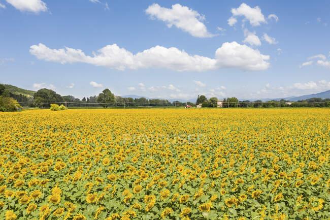 Italia, vasto campo de girasol en verano - foto de stock