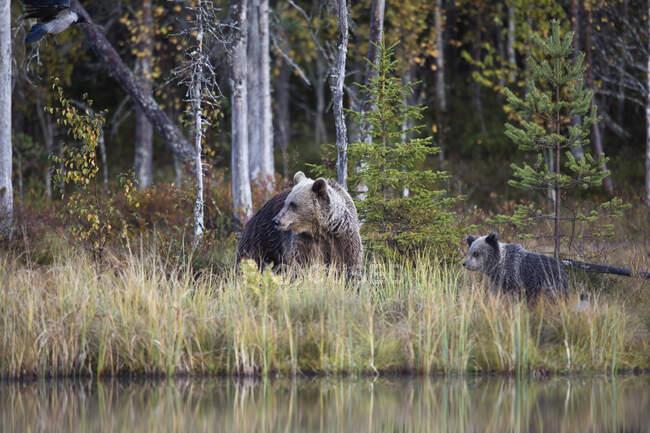 Finlandia, Kuhmo, orso bruno (Ursusarctos) famiglia atborealforestaleshorin autunno — Foto stock
