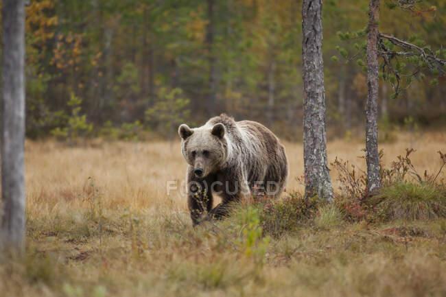 Finnland, Kuhmo, Braunbär (Ursus arctos) beim Wandern in der herbstlichen Taiga — Stockfoto