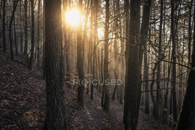 Sol brillando a través del bosque de pinos, Hauenstein, Renania-Palatinado, Alemania - foto de stock