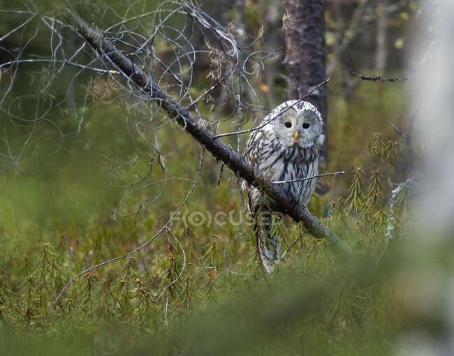 Finlandia, Kuhmo, Carelia settentrionale, Kainuu, gufo urale (Strix uralensis) appollaiato su ramo — Foto stock