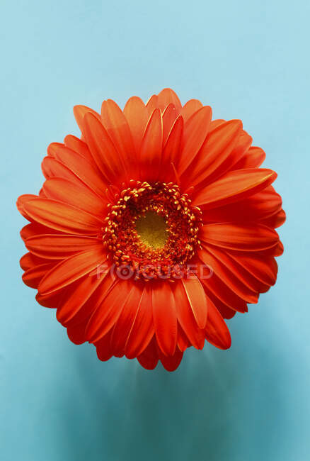 Studio shot of red gerbera flower on blue background — Stock Photo