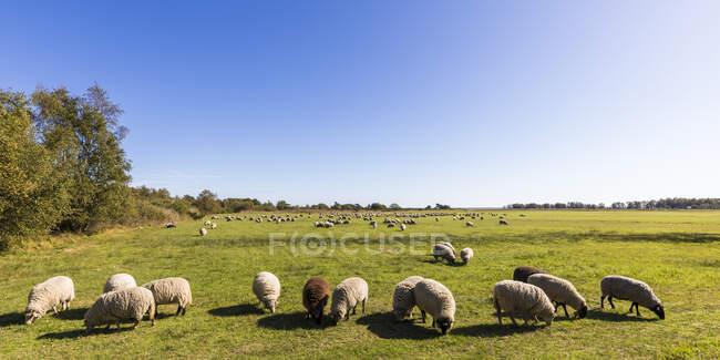Alemanha, Mecklemburgo-Pomerânia Ocidental, Céu límpido sobre o rebanho de ovelhas pastando em pastagens da primavera — Fotografia de Stock