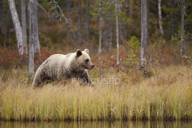 Finnland, Kainuu, Kuhmo, Braunbär (Ursus arctos) beim Spazierengehen am grasbewachsenen Seeufer in der herbstlichen Taiga — Stockfoto