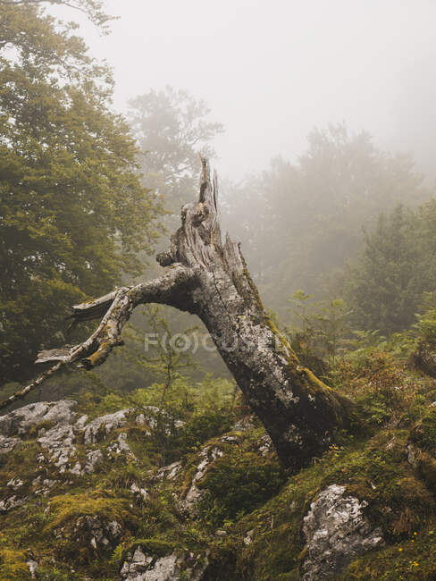 Испания, Кантабрия, Пень дерева в туманных горах — стоковое фото