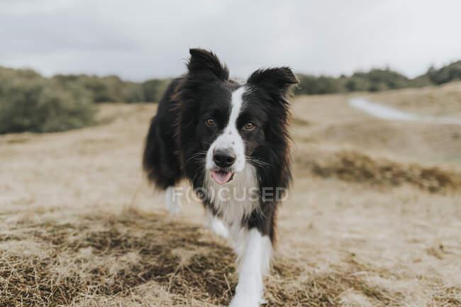 Нидерланды, Schiermonnikoog, портрет Border Collie в дюнном пейзаже — стоковое фото