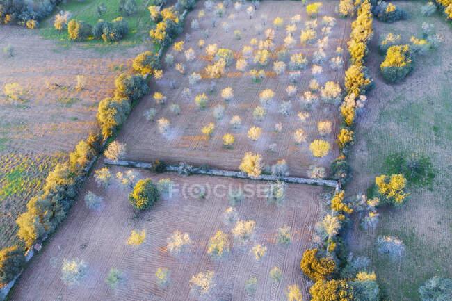 Spagna, Isole Baleari, Felanitx, Veduta drone dei mandorli che sbocciano nel frutteto primaverile — Foto stock