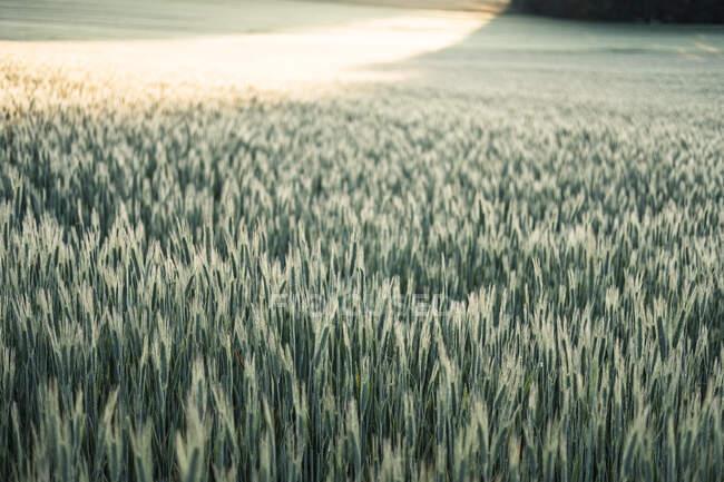 Allemagne, Bavière, Berg, Seigle (Secale cereale) champ à l'aube — Photo de stock