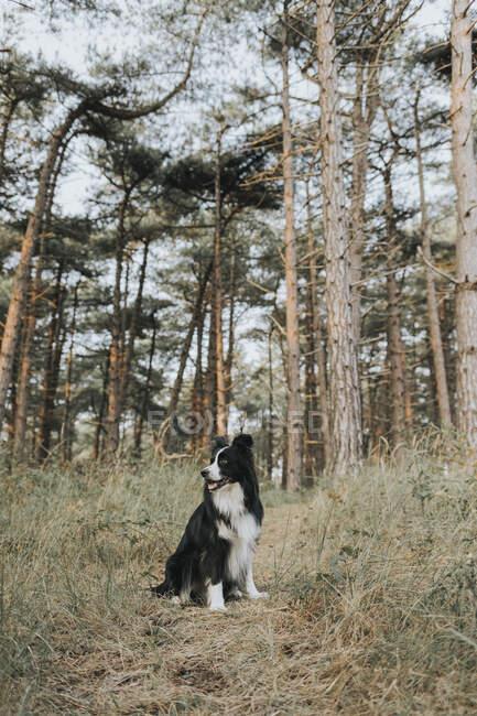 Нидерланды, Schmonnikoog, Border Collie в лесу оглядываются — стоковое фото