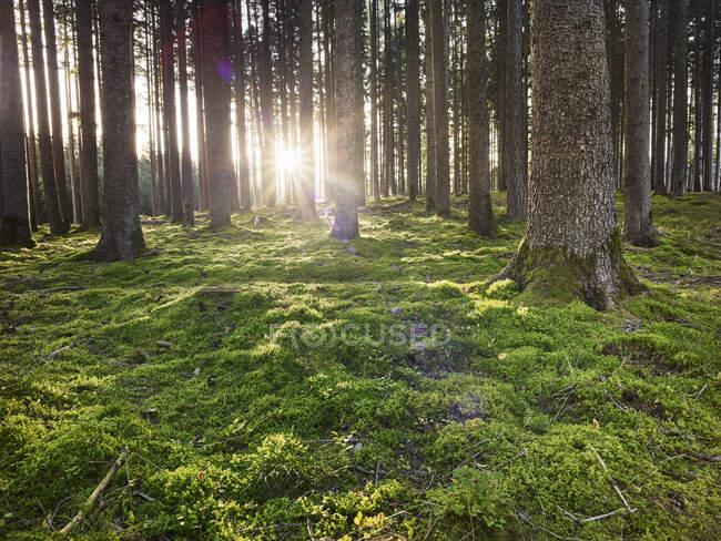 Austria, Tirol, Lans, Puesta de sol iluminando el suelo del bosque musgoso - foto de stock