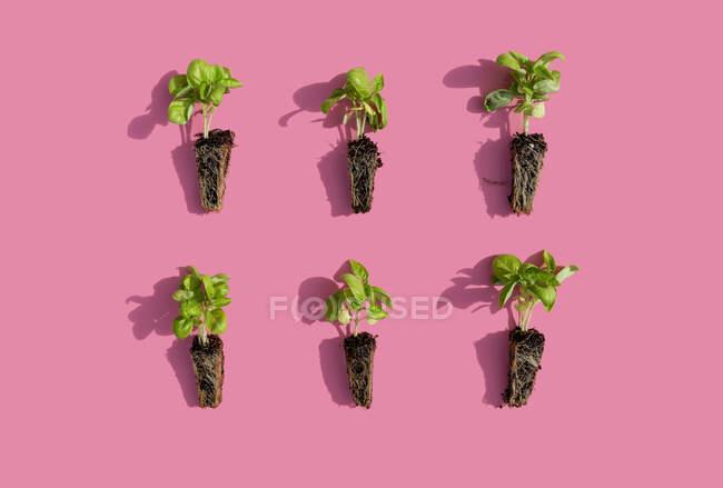 Estudio de seis plántulas de albahaca sobre fondo rosa - foto de stock
