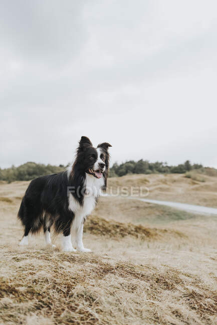 Нидерланды, Schmonnikoog, Border Collie в дюнном ландшафте, оглядывающемся вокруг — стоковое фото