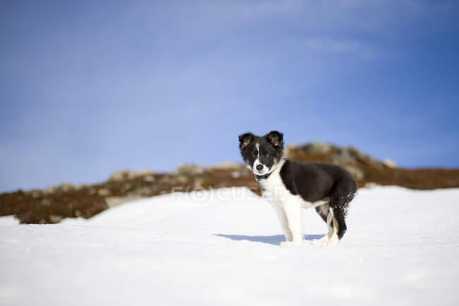 Escocia, Genshee, Border Collie cachorro en la nieve - foto de stock
