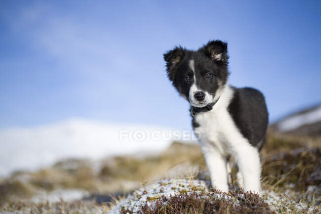 Шотландия, Генши, портрет щенка Пограничной колли — стоковое фото