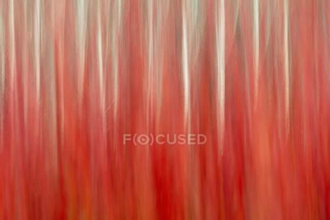 España, Provincia de Cuenca, Canamares, Cañas rojas cultivadas por mimbre - foto de stock