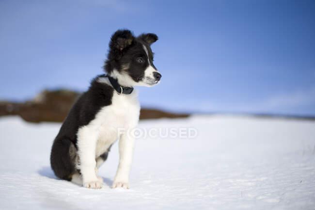 Шотландия, Дженши, портрет щенка Пограничной колли в снегу — стоковое фото