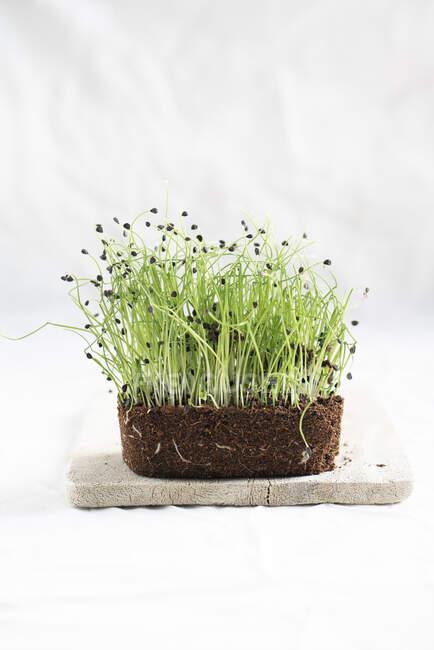 Estudio de microgreens de cebolla fresca - foto de stock
