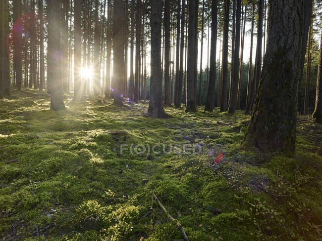 Austria, Tirolo, Lans, Tramonto del sole illuminante muschio bosco — Foto stock
