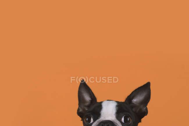 Retrato de boston terrier cachorro delante de fondo naranja - foto de stock