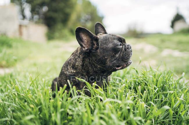 Retrato de bulldog sentado en un prado - foto de stock