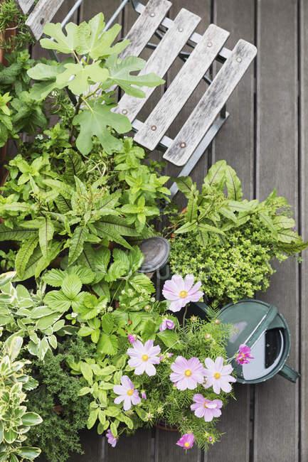 Varias hierbas culinarias creciendo en el balcón - foto de stock