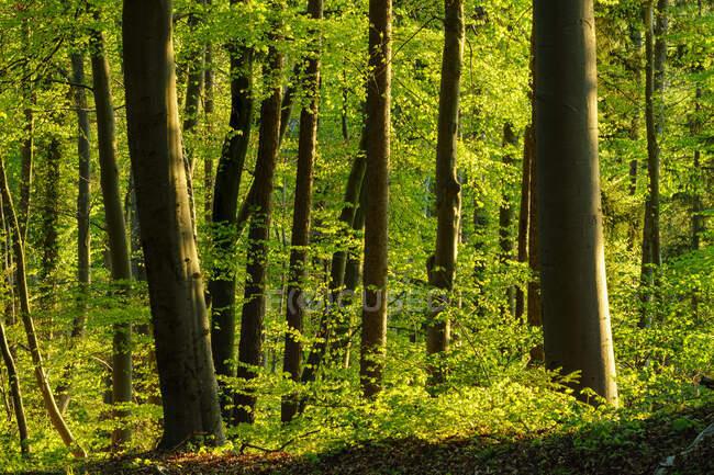 Alemania, Baviera, Bosque de haya verde vibrante en primavera - foto de stock
