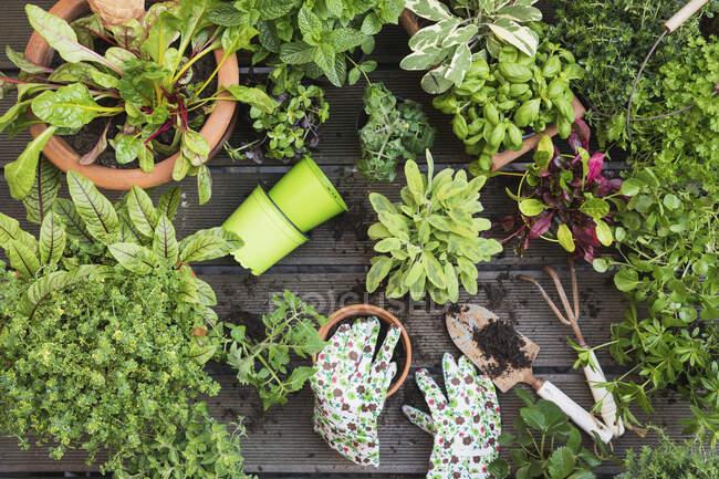 Plantación de diversas hierbas y verduras culinarias - foto de stock