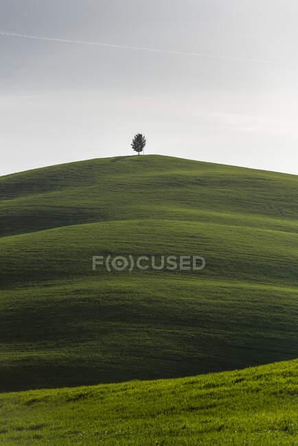 Italie, Toscane, Arbre solitaire au sommet d'une colline herbeuse — Photo de stock