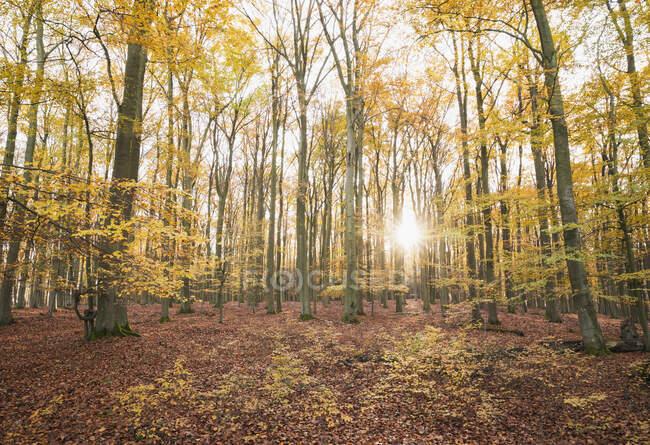 Germania, Renania Settentrionale-Vestfalia, Luce del sole che illumina la foresta di Kermeter in autunno — Foto stock