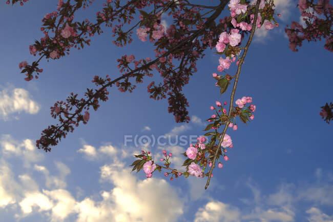 Alemania, Vista de ángulo bajo de ramas de flor de cerezo contra el cielo - foto de stock