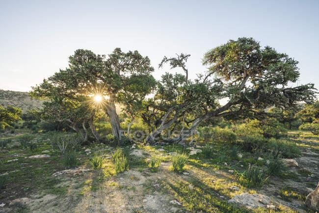Árvores ao pôr do sol, província de Essaouira, Marrocos — Fotografia de Stock