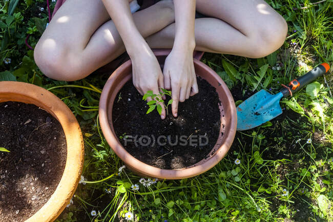 Vista de la cosecha de la niña maceta planta de tomate en un jardín - foto de stock