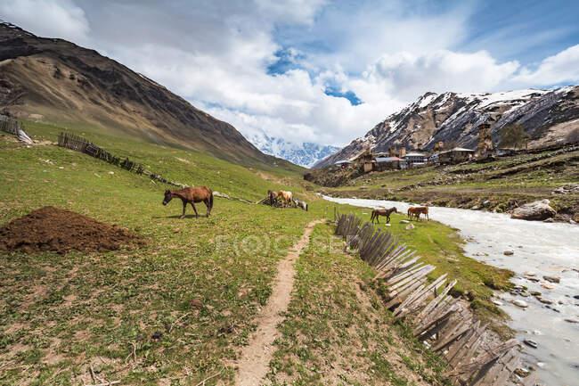 Грузія, Сванеті, Ушулі, коні, що пасуться вздовж берега річки Енгурі з середньовічним селом на задньому плані. — стокове фото