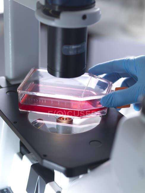 Mano recortada del biólogo masculino que coloca un matraz que contiene células madre en el microscopio en el laboratorio - foto de stock
