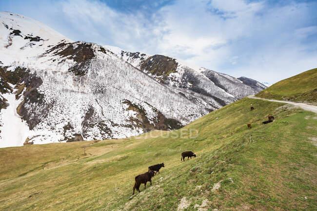 Грузія, Сванеті, Ушулі, худоба пасуться на гірських пасовищах. — стокове фото