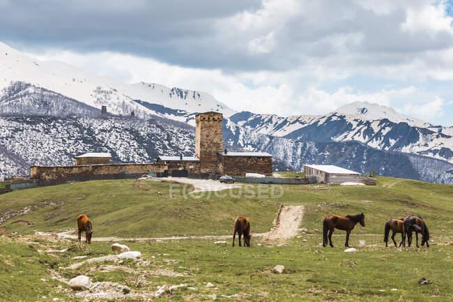 Грузія, Сванеті, Ушулі, коні, що пасуться перед середньовічним селом. — стокове фото