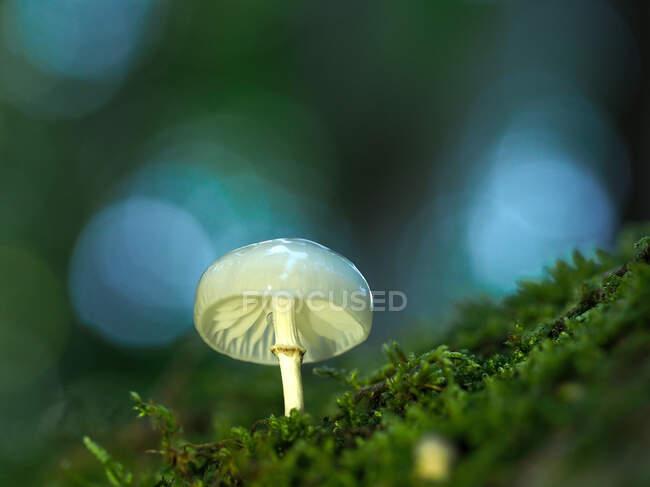 Збільшення переповненого слизького стебла (Limacella illinita) гриба, що росте в лісі. — стокове фото