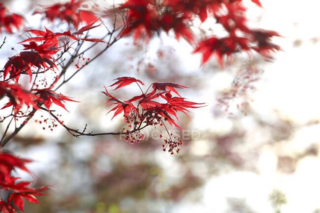 Германия, ветви японской картошки (Acer palmatum)) — стоковое фото