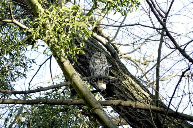 Alemania, Vista en ángulo bajo del búho tawny posado en la rama del árbol - foto de stock